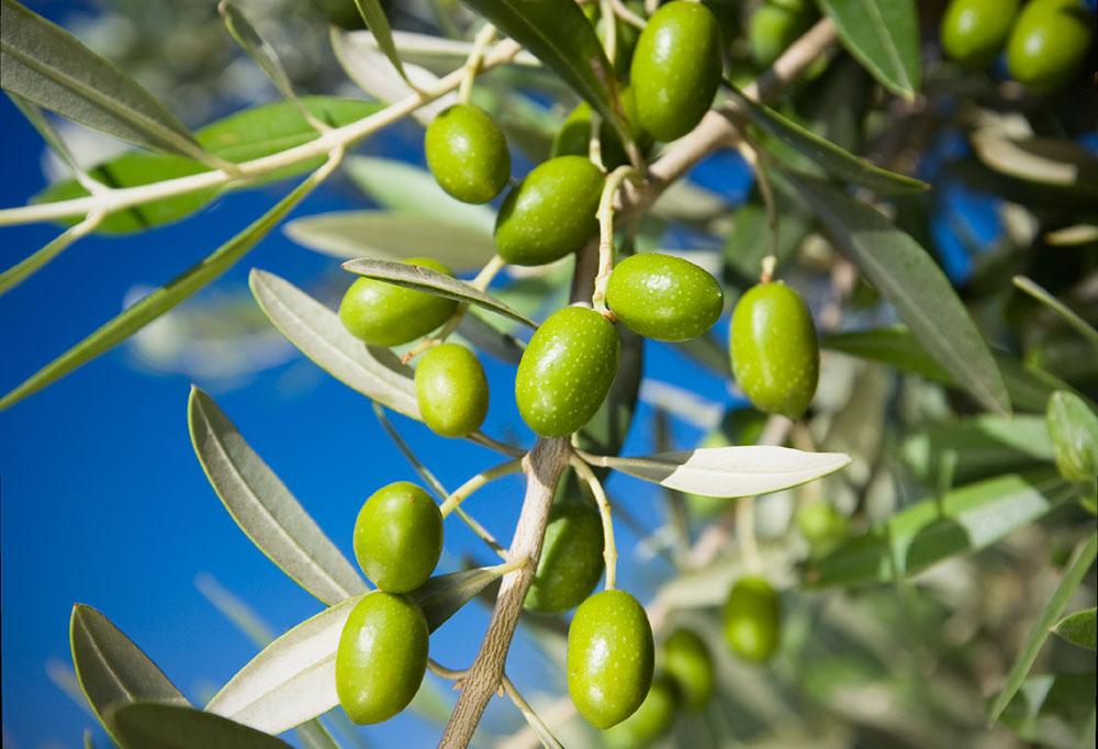 I benefici dell'olio extravergine di oliva: benessere fisico,  mentale e culturale
